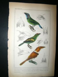 Cuvier C1835 Antique Hand Col Bird Print. The Great Pogon, The Barbicam, The Banded Tamatia, 46